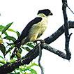 Predating behavior of the Laughing falcon ...